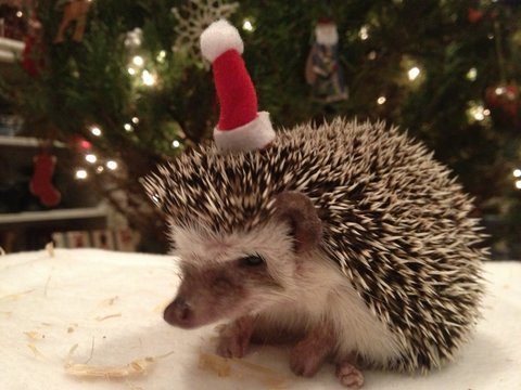 Sonic sports a Santa hat, braving the cold Houston winter. An African pygmy hedgehog, she cannot be exposed to temperatures lower than 72 degrees Fahrenheit.