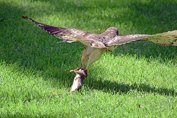 After eating part of the squirrel in front of its engrossed audience, the hawk flew off with the rest of its kill.