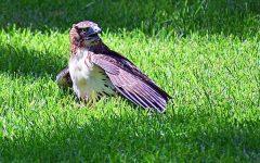 Wild hawk spotted devouring squirrel on Quad