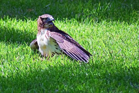 Wild hawk spotted devouring squirrel on Quad