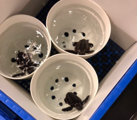 Students observed young sea turtles at Texas A&M University at Galveston.
